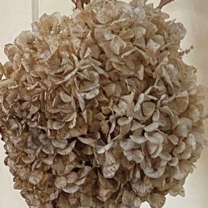 The grand dame hydrangea--honoring wisdom from the past