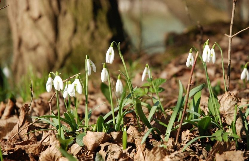 Snow drops emerging from among dead leaves